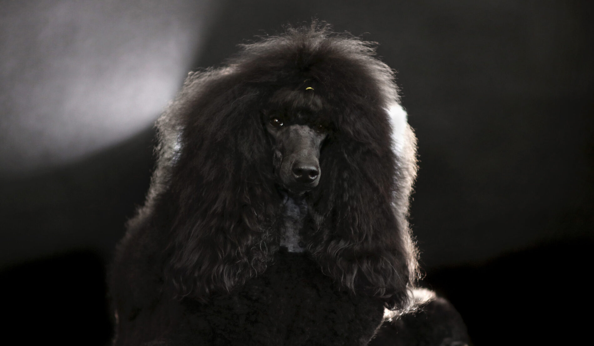 Strzyżenie psów - Kościerzyna - GoldenStudio