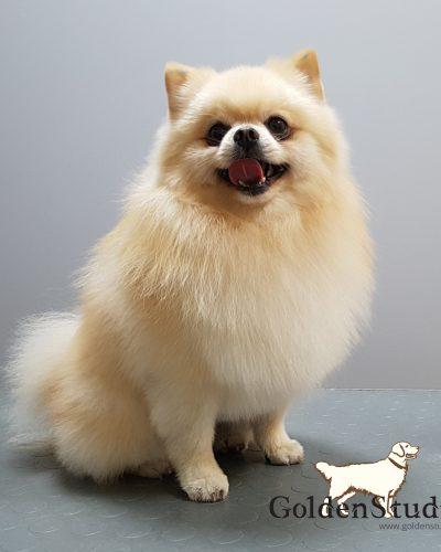 Fryzura psa